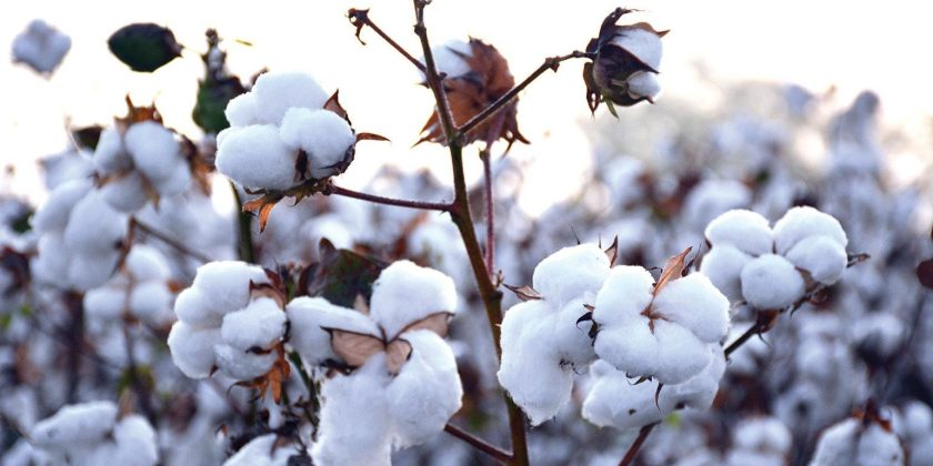 Cotton-Ready-to-Pick-DFP-RSmith-1540x770